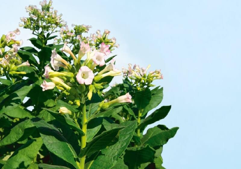 پرورش گیاه تنباکو
