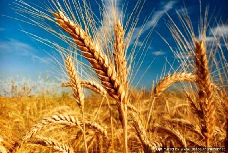 Wheat-5kg